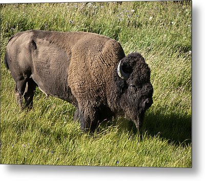 Male Bison Grazing  Metal Print by Paul Cannon