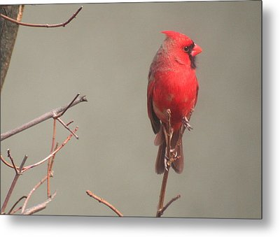 Metal Print featuring the photograph Male Cardinal On A Branch by Laurel Talabere