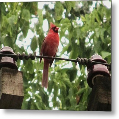 Male Cardinal One Metal Print by Todd Sherlock