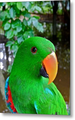 Male Eclectus Parrot II Metal Print by Kirsten Giving