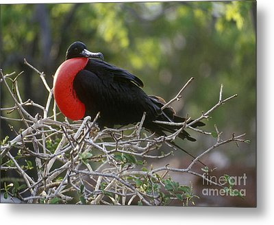 Metal Print featuring the photograph Male Frigate Bird - Galapagos by Craig Lovell