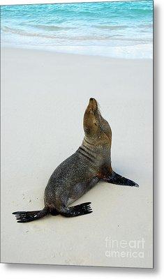 Male Galapagos Sea Lion Standing On Beach Metal Print by Sami Sarkis
