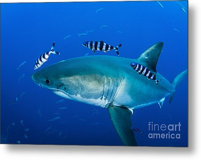 Male Great White Shark And Pilot Fish Metal Print by Todd Winner