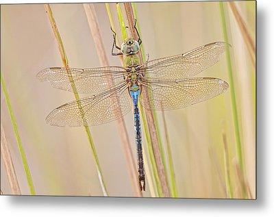 Male Green Darner Dragonfly Metal Print by Bonnie Barry