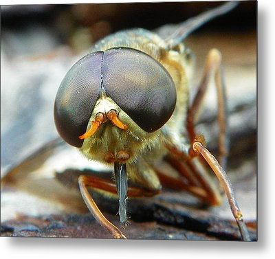 Male Horse Fly Metal Print by Chad and Stacey Hall