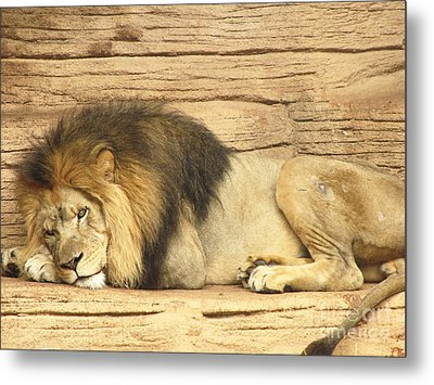 Male Lion Resting Metal Print