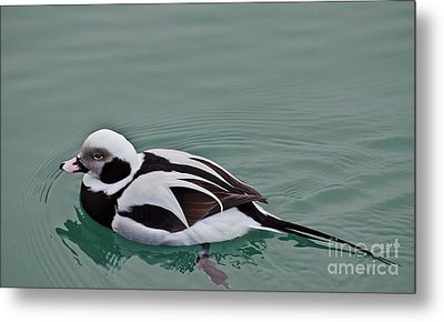 Male Long Tailed Duck In Winter Plumage Metal Print
