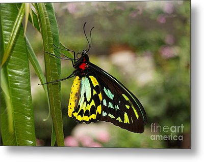 Metal Print featuring the photograph Male New Guinea Birdwing Butterfly by Eva Kaufman