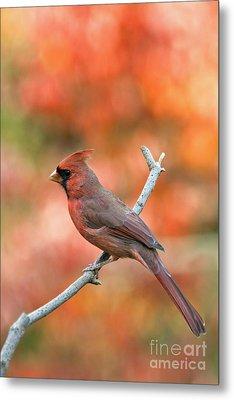 Male Northern Cardinal - D007810 Metal Print by Daniel Dempster