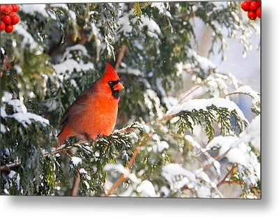 Male Northern Cardinal. Metal Print by Kelly Nelson