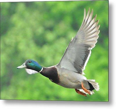 Mallard Duck In Flight Metal Print by Paul Ward