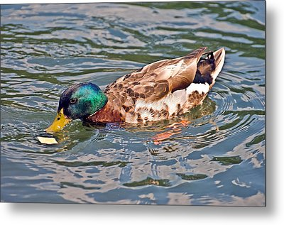 Mallard With Cracker Metal Print by Susan Leggett