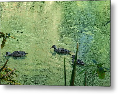 Mallards Feeding Metal Print