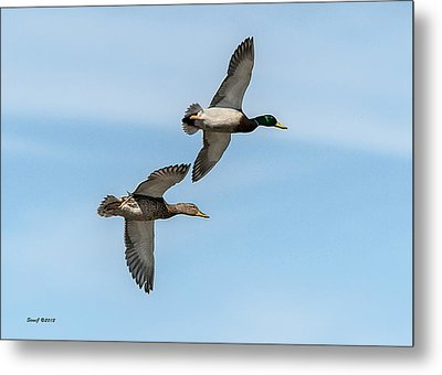 Metal Print featuring the photograph Mallards In Flight by Stephen  Johnson