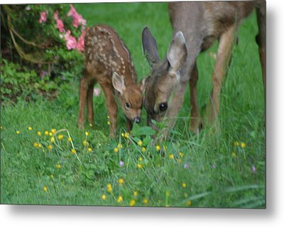 Mama And Spotted Baby Fawn Metal Print by Kym Backland