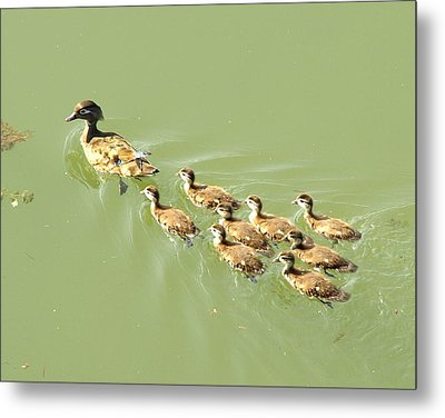 Mama Duck And Ducklings Metal Print by James Granberry