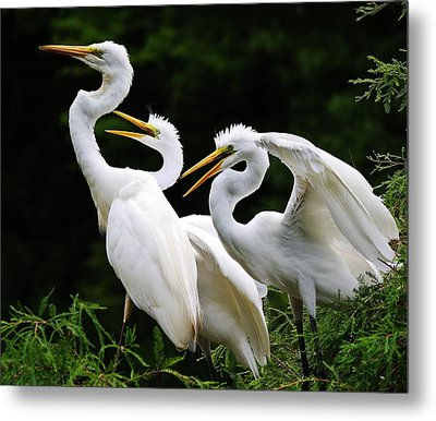 Mama Egrets With Her Babies Metal Print by Paulette Thomas