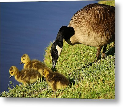 Mama Geese With Her Babies Metal Print by Paulette Thomas