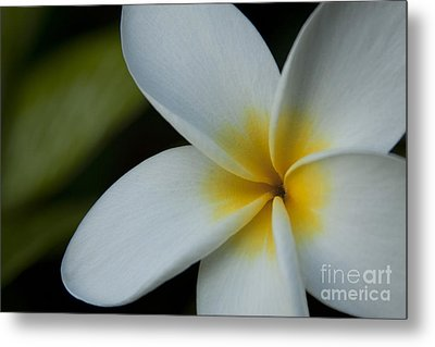Mana I Ka Lani - Tropical Plumeria Hawaii Metal Print by Sharon Mau
