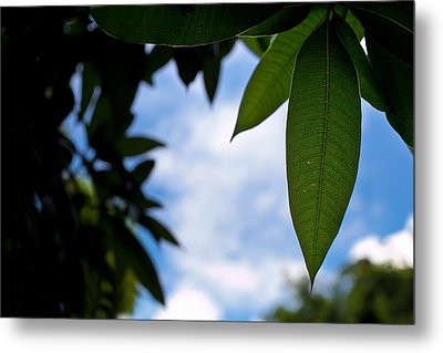 Mango Tree Leaf Metal Print by Anya Brewley schultheiss