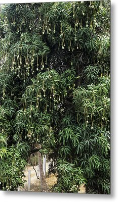 Mango Tree Metal Print by Veronique Leplat
