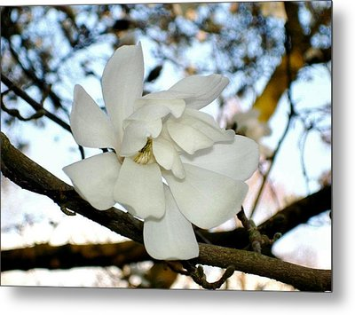 Metal Print featuring the photograph Mangolia  by Katy Mei