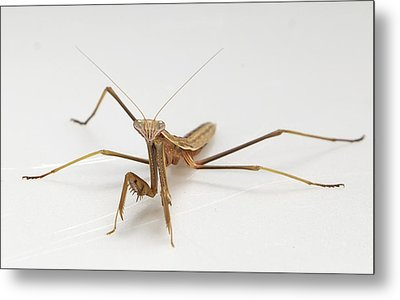 Metal Print featuring the photograph Mantis 1 by John Crothers
