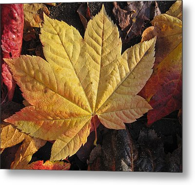Maple Leaf Close Up  Metal Print by Robert  Perin
