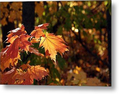 Maple Leaf Glow Metal Print by James Hammen