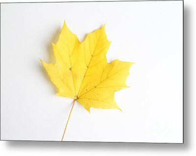 Maple Leaf Metal Print by Photo Researchers