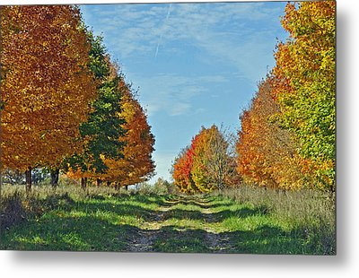 Maple Tree Lane Metal Print by Rodney Campbell
