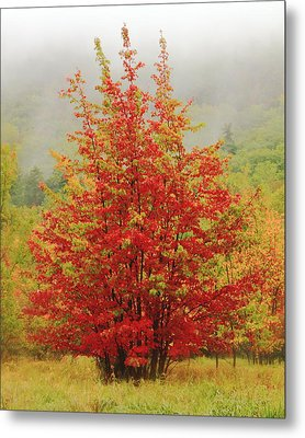 Maples In The Mist Metal Print by Roupen  Baker