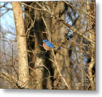 March Bluebird Metal Print by Neal Eslinger