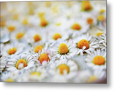 Marguerite Flowers Metal Print by Uccia_photography