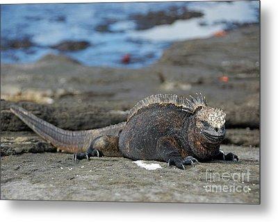 Marine Iguana Lying On Rock By Water Metal Print by Sami Sarkis