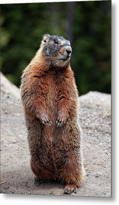 Marmot Rearing Up On Hind Legs In Yellowstone Metal Print by Trina Dopp Photography