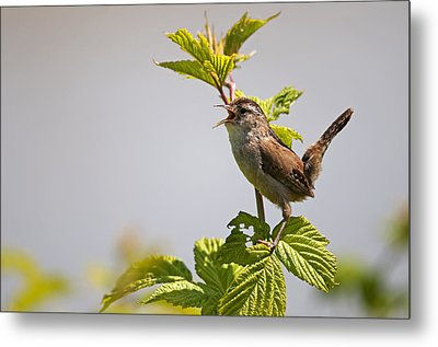 Marsh Wren Calling Metal Print by Terry Dadswell