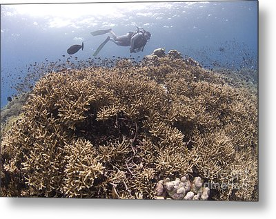 Masses Of Staghorn Coral, Papua New Metal Print by Steve Jones