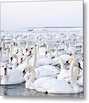 Massive Amount Of Swans In Winter Metal Print by Mait Juriado photo