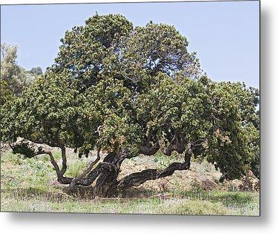 Mastic Tree (pistacia Lentiscus Var.chia) Metal Print
