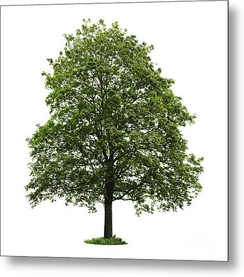 Mature Maple Tree Metal Print by Elena Elisseeva
