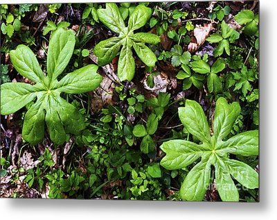 Mayapples In Forest Metal Print by Thomas R Fletcher
