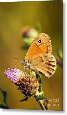 Meadow Brown Butterfly  Metal Print by Elena Elisseeva