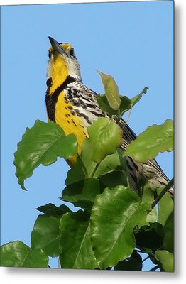 Metal Print featuring the photograph Meadowlark by Rebecca Overton