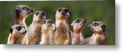 Meerkat Mob Metal Print by Julie L Hoddinott