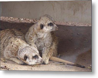 Meerkats Metal Print by Linda A Waterhouse