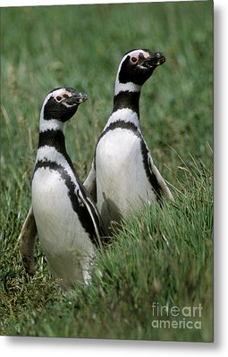 Metal Print featuring the photograph Megellanic Penguin Couple - Patagonia by Craig Lovell