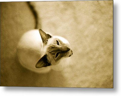 Metal Print featuring the photograph Meow by Lenny Carter