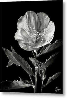 Metal Print featuring the photograph Mexican Evening Primrose In Black And White by Endre Balogh