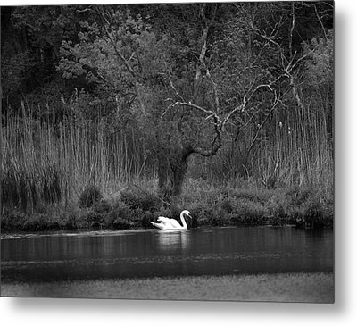 Midnight Swan Metal Print by Diane Giurco